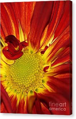 Red Daisy Canvas Print by Sabrina L Ryan