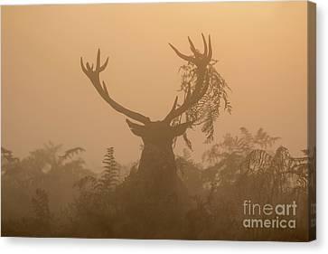 Red Deer Stag Cervus Elaphus Displaying At Sunrise With Bracken On Antlers Canvas Print