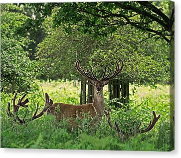 Red Deer Stag Canvas Print by Rona Black