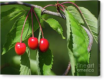 Canvas Print featuring the photograph Red Delicious by Kennerth and Birgitta Kullman