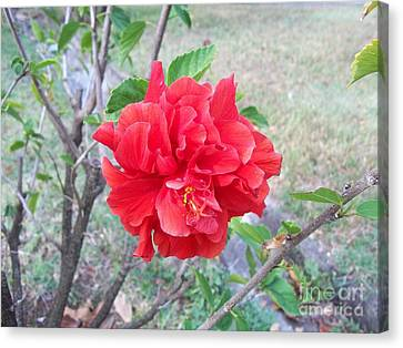 Red Double Hibiscus Canvas Print