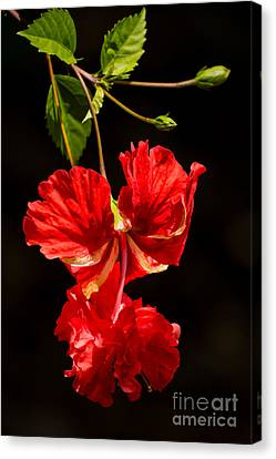 Red Double Hibiscus Canvas Print by Zina Stromberg