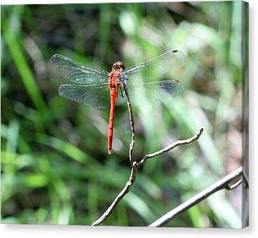 Canvas Print featuring the photograph Red Dragonfly by Karen Silvestri