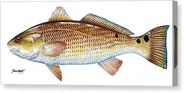 Red Drum  Redfish Canvas Print by Kevin Brant