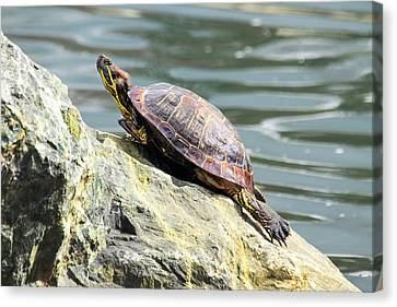 Red Eared Slider Turtle Canvas Print by Frank Wilson