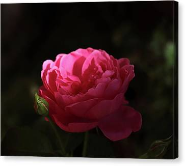 Red Evening Rose Canvas Print