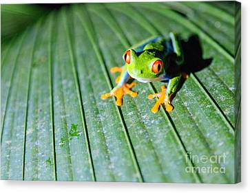 Red Eyed Frog Close Up Canvas Print
