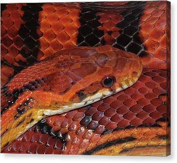 Red Eyed Snake Canvas Print by Patricia McNaught Foster