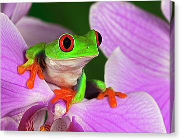 Red-eyed Tree Frog. Canvas Print by Adam Jones