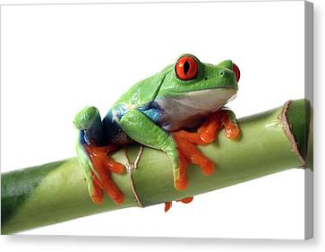 Red-eyed Tree Frog Canvas Print by Mlorenzphotography