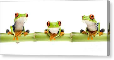 Red-eyed Treefrogs Canvas Print by Mark Bowler and Photo Researchers