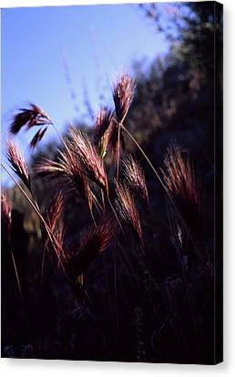 Red Feathers Canvas Print