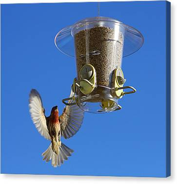 Red Finch And Feeder Canvas Print