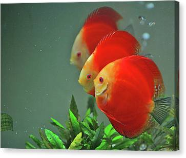 Red Fish Canvas Print by Vietnam