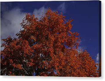 Red Flaming Maple Tree Canvas Print by Garry Gay