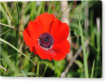 Red Anemone Coronaria 4 Canvas Print