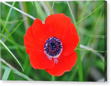 Red Anemone Coronaria 3 Canvas Print