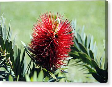 Callistemon - Bottle Brush 7 Canvas Print