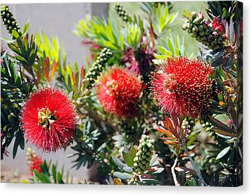 Callistemon - Bottle Brush 6 Canvas Print
