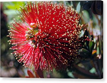 Callistemon - Bottle Brush 5 Canvas Print
