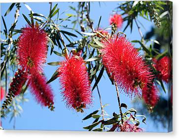 Callistemon - Bottle Brush 3 Canvas Print