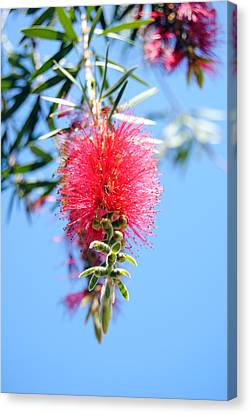 Callistemon - Bottle Brush 1 Canvas Print