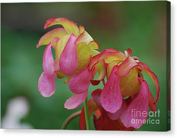 Red Flowering Carnivorous Plant Canvas Print by DejaVu Designs