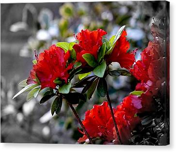 Red Flowers Canvas Print by Aron Chervin