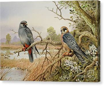 Red-footed Falcons Canvas Print by Carl Donner