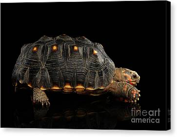 Red-footed Tortoise Canvas Print