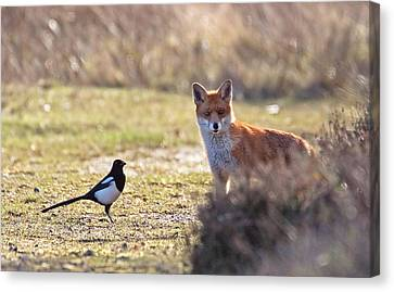 Red Fox And Magpie Canvas Print