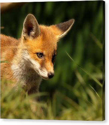 Red Fox Cub In The Grass Canvas Print by Chris Jolley