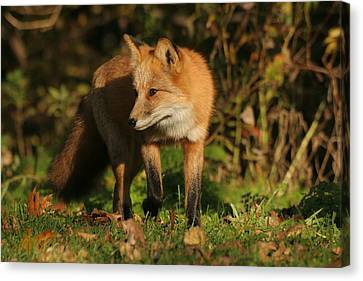 Canvas Print featuring the photograph Red Fox by Doris Potter