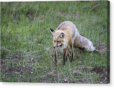 Red Fox Hunting Canvas Print