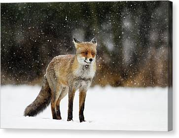 Red Fox In A Blizzard Canvas Print