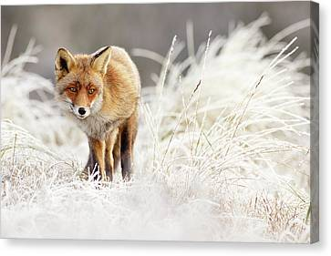 Red Fox In A Winter Landscape Canvas Print
