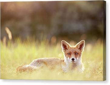 Red Fox In Late Summer Canvas Print