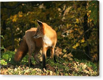 Canvas Print featuring the photograph Red Fox In Shadows by Doris Potter