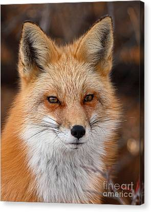 Red Fox In Winter Ruff Canvas Print by Max Allen