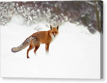 Red Fox In Winter Wonderland Canvas Print by Roeselien Raimond