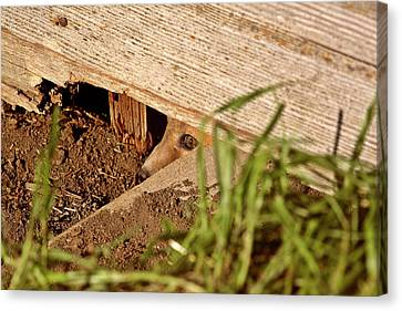 Red Fox Kit Peaking Out From Den Under Old Granary Canvas Print by Mark Duffy