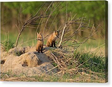 Red Fox Kits Keeping Watch Canvas Print