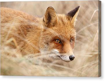 Red Fox On The Hunt Canvas Print by Roeselien Raimond