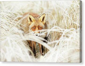 Red Fox Out Of The White Canvas Print