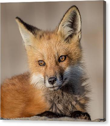 Red Fox Portrait Canvas Print by Bill Wakeley