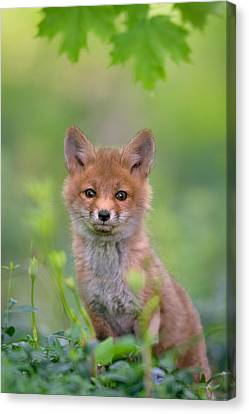 Red Fox Pup Canvas Print by Nick Kalathas