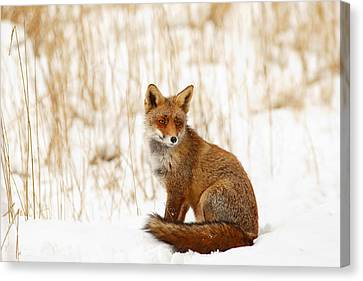Red Fox Sitting In The Snow Canvas Print by Roeselien Raimond
