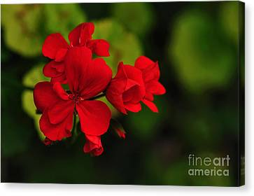 Red Geranium Canvas Print by Kaye Menner