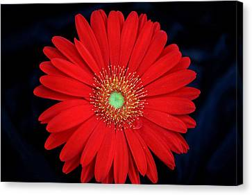 Canvas Print featuring the photograph Red Gerber Daisy On Black by Sheila Brown