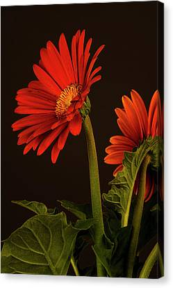 Red Gerbera Daisy 1 Canvas Print by Richard Rizzo